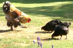Cuthbert with Hens