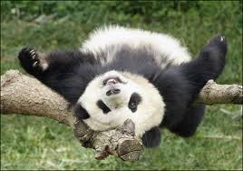 Panda cub upside down on branch